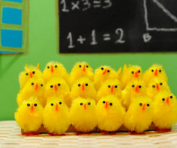 Class chickens