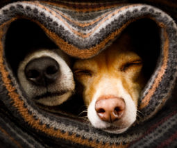 Two dogs wrapped in a mat