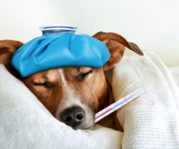 A dog with an ice pack on his head and a thermometer in his mouth